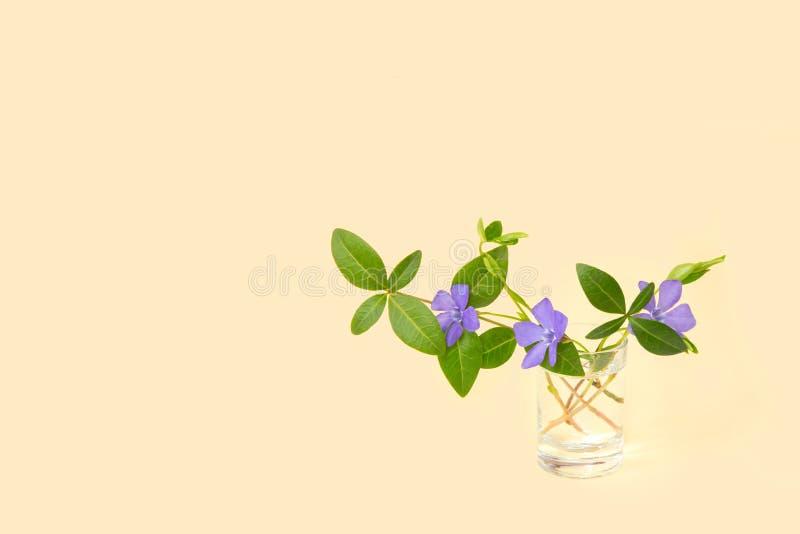 Fleur de bigorneau sur un fond jaune Plan rapproch? Fleur lumineuse et belle, humeur d'?t? photographie stock libre de droits