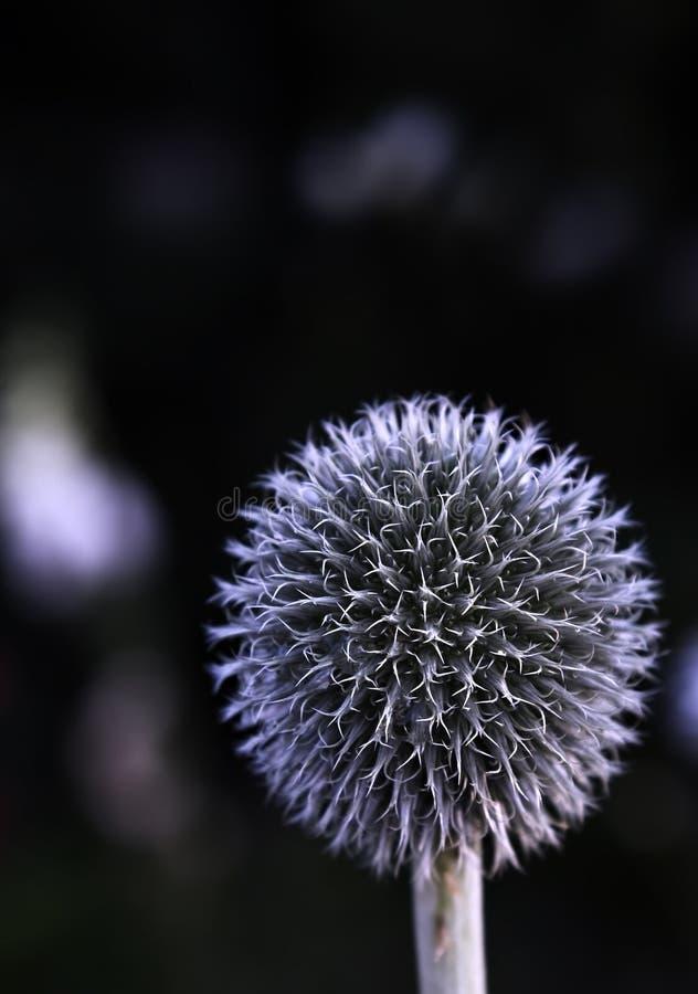 Fleur de bille photos stock