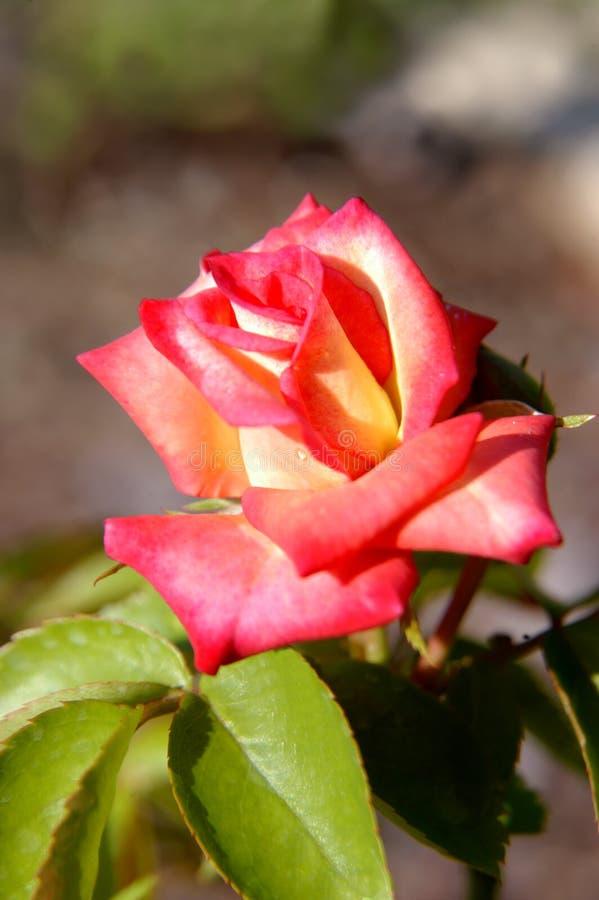 Fleur de Birmingham dans le rose et le jaune photographie stock