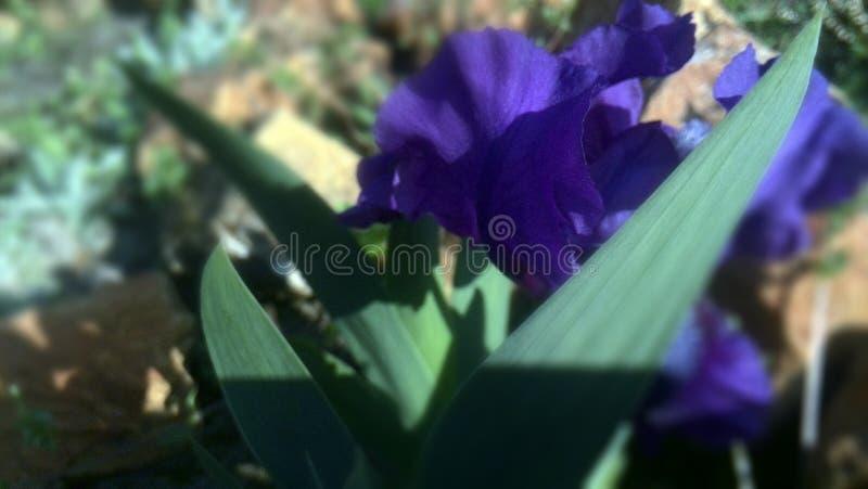 Fleur de bleu de jardin de ressort photo stock