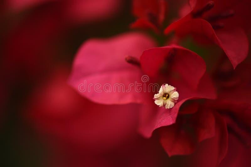 Fleur de bouganvillée de Romatic photographie stock