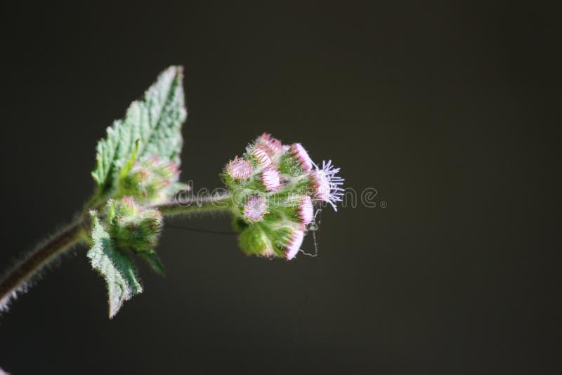 Fleur de bourgeonnement images stock