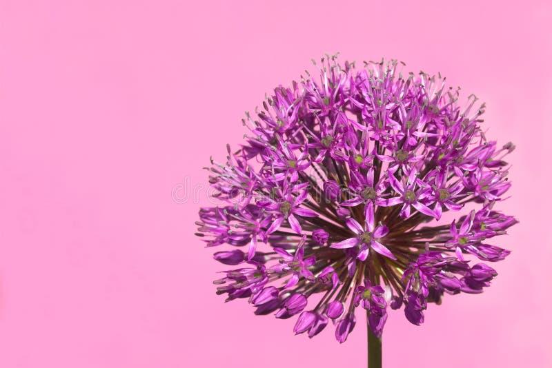Fleur de bourgeonnement pourprée d'allium images libres de droits