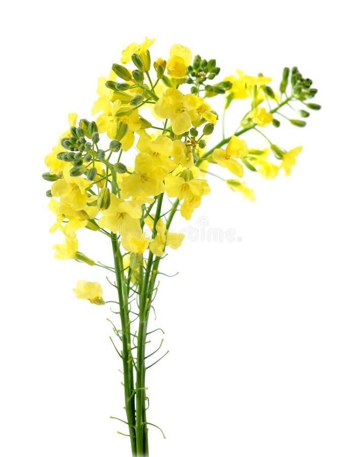 Fleur de brocoli photos stock