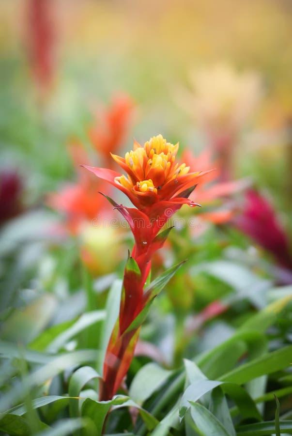 Fleur de Bromeliad photographie stock