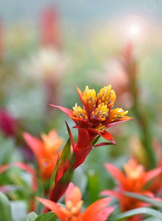Fleur de Bromeliad image libre de droits
