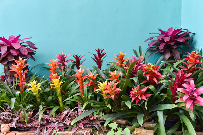 Fleur de Bromeliad photos libres de droits