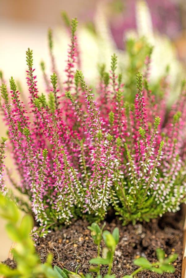 Fleur de Bruyère images stock
