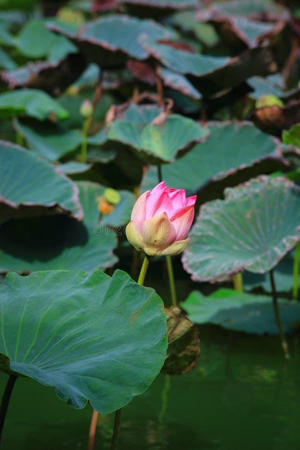 Fleur de Bud Lotus ou nucifera de Nelumbo photo libre de droits