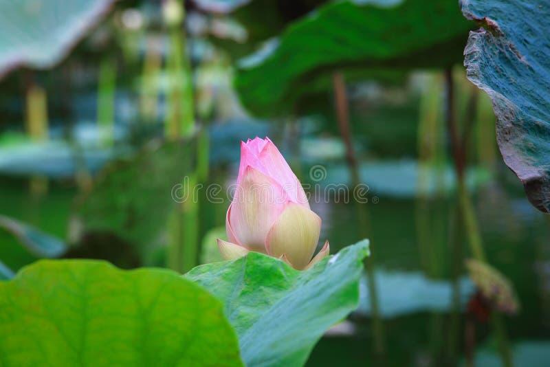 Fleur de Bud Lotus ou nucifera de Nelumbo photo stock