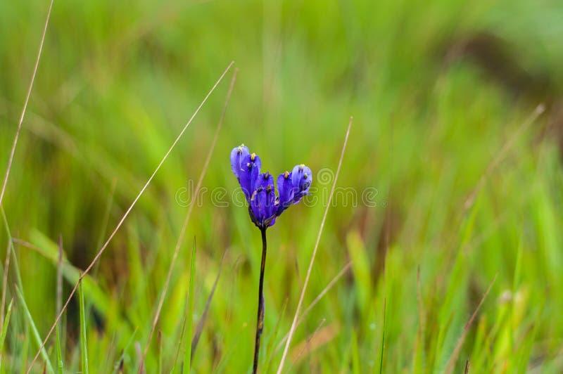 Fleur de Burmannia photos libres de droits
