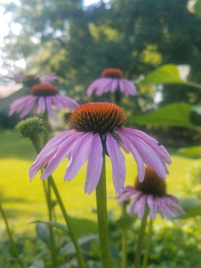 Fleur de cône pourpre à l'échinacée photo libre de droits