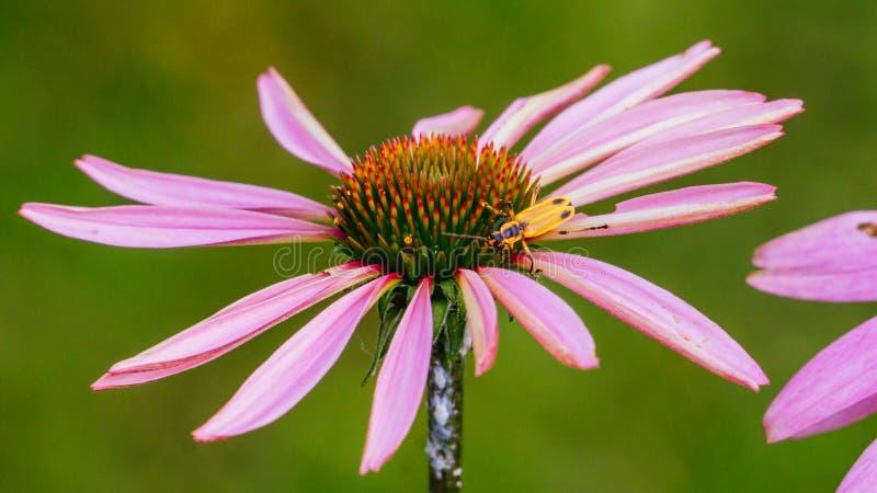 Fleur de cône avec l'insecte de foudre photos libres de droits
