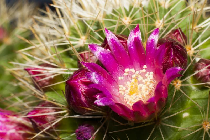 Fleur de cactus à la fin photos libres de droits