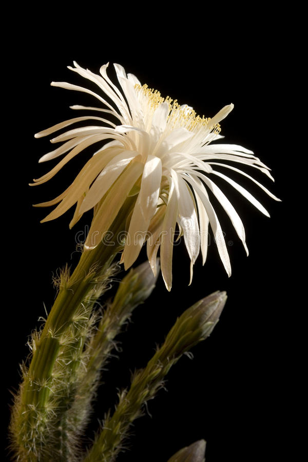 Fleur de cactus photo stock