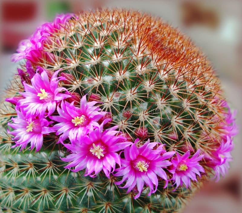 Fleur de cactus images stock