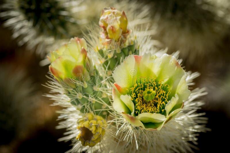 Fleur de cactus de Cholla image libre de droits