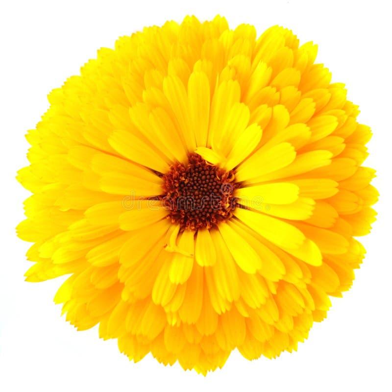 Fleur de Calendula photographie stock