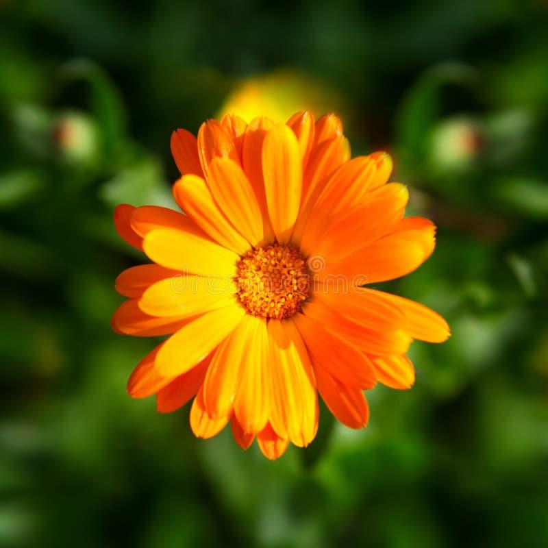Fleur de Calendula images stock