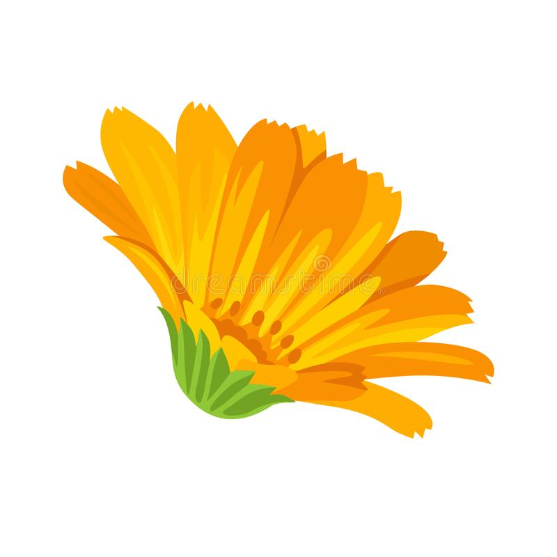 Fleur de Calendula Illustration de vecteur d'une fleur médicinale orange illustration libre de droits