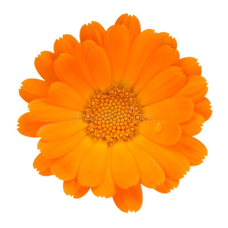 Fleur de Calendula (souci de pot) d'isolement sur le fond blanc images libres de droits