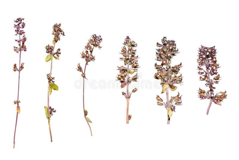 Fleur de Calluna Herbier des fleurs bleues Herbes sèches Fleurs sauvages de source photo stock