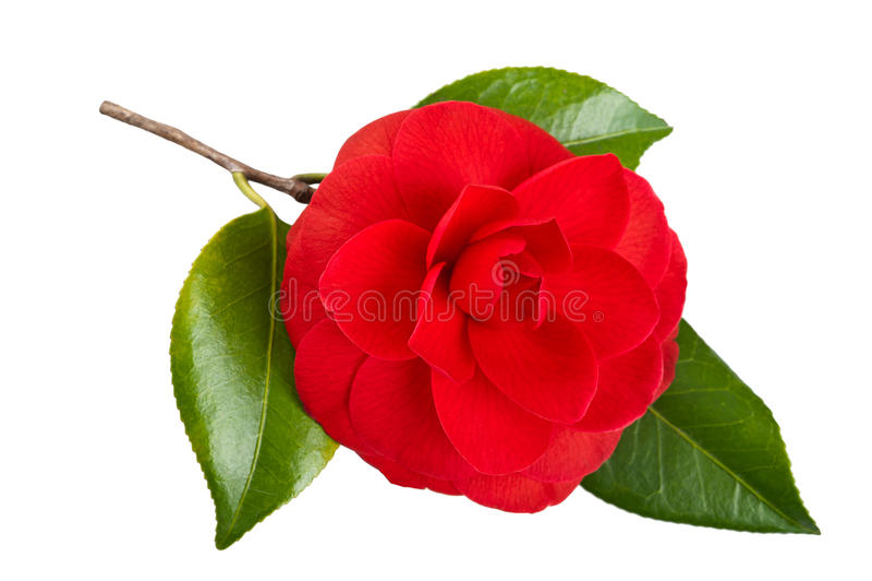 Fleur de camélia photo stock