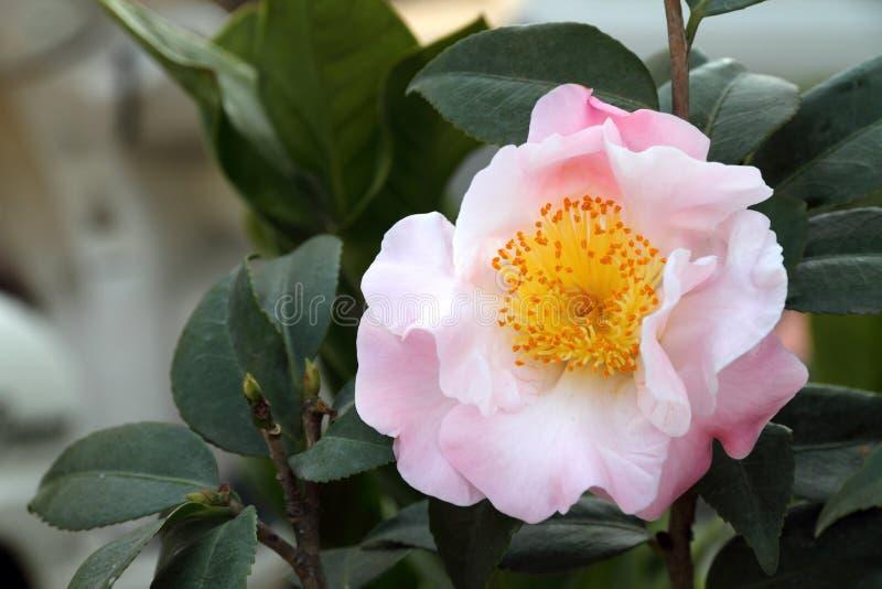Fleur de camélia photographie stock libre de droits