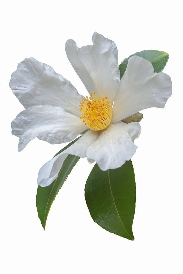 Fleur de camélia d'huile de thé photographie stock libre de droits