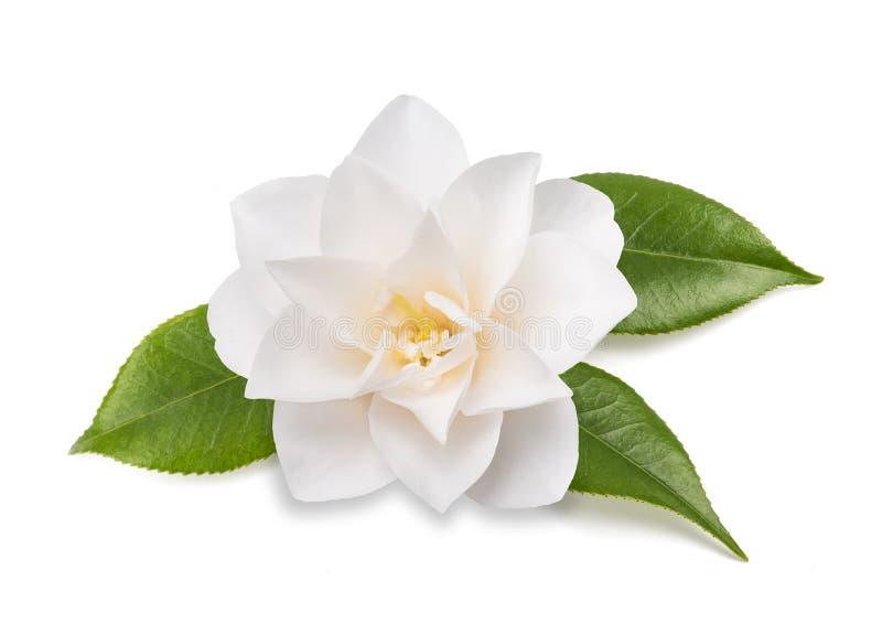 Fleur de camélia d'isolement photographie stock