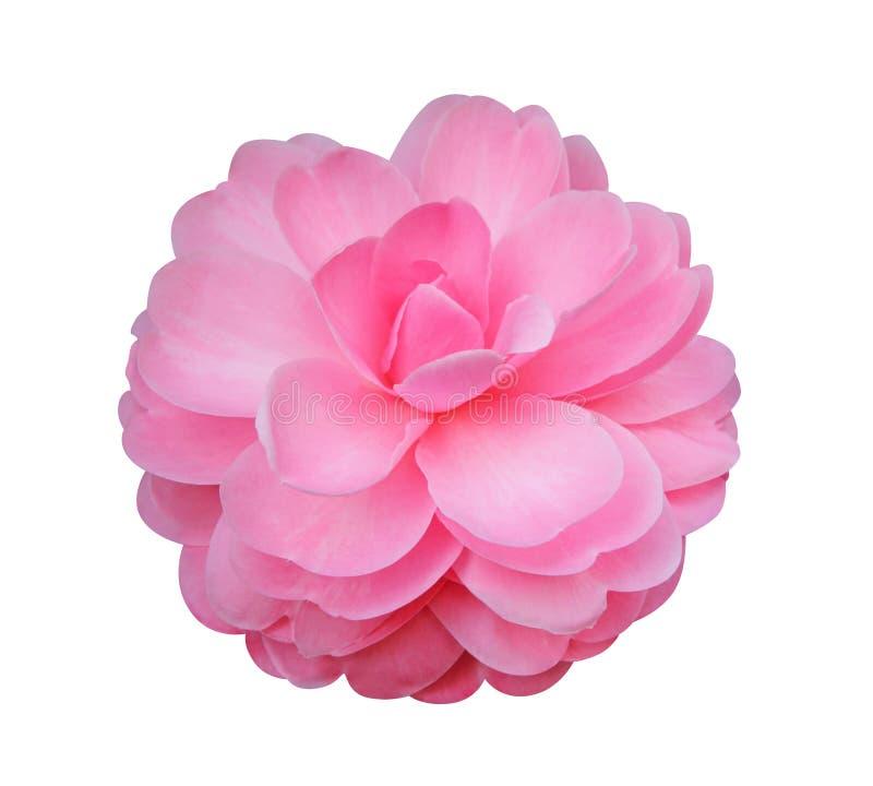 Fleur de camélia d'isolement sur le fond blanc photos libres de droits