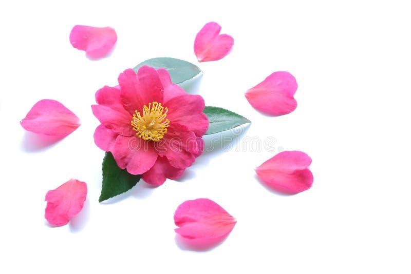 Fleur de camélia de rose japonais d'isolement photo libre de droits