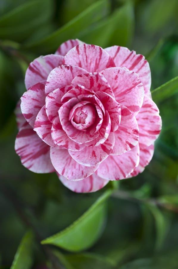 Fleur de camélia variée avec le rose et le blanc images stock