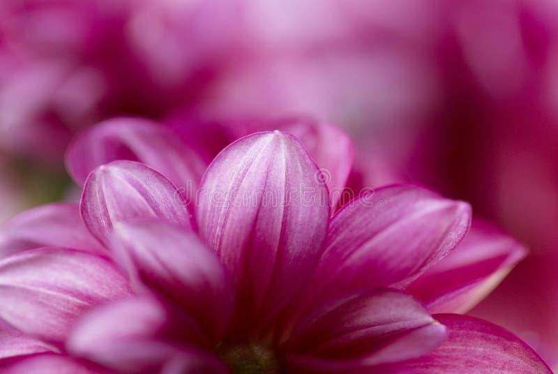 Fleur de Camelia images libres de droits