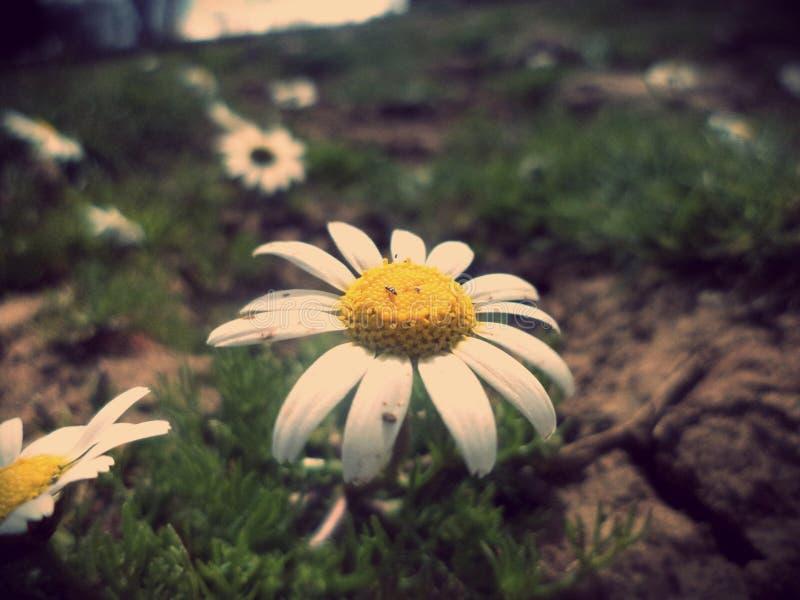 Fleur de camomille photos stock