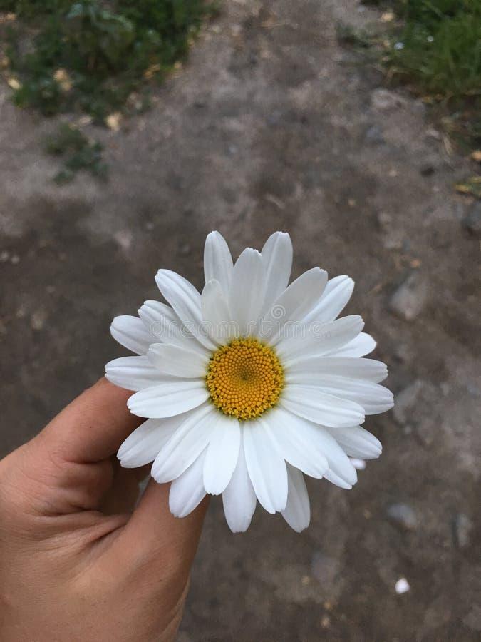 Fleur de camomille photos libres de droits