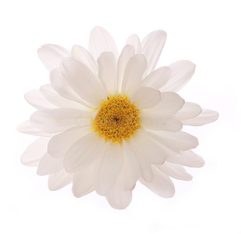 Fleur de camomille d'isolement photo libre de droits