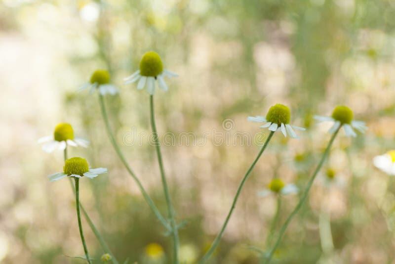 Fleur de camomille, herbe de camomille dans le jardin photo libre de droits