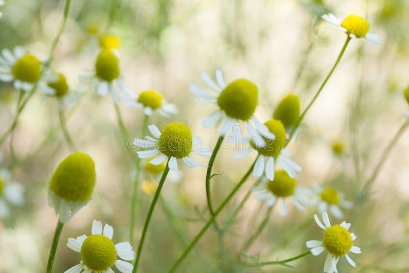 Fleur de camomille, herbe de camomille dans le jardin images libres de droits