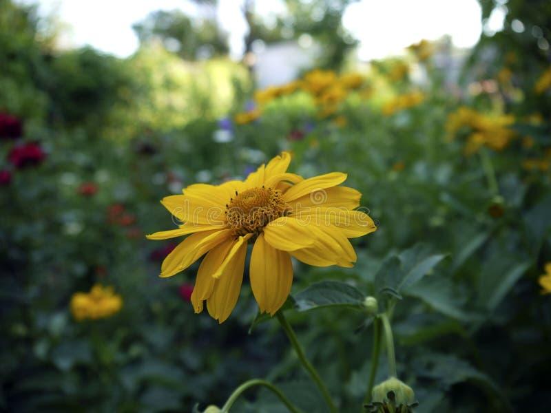Fleur de camomille jaune sur le pré images libres de droits