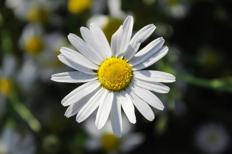 Fleur de camomille sur le fond foncé Plan rapproch? Macro photographie stock libre de droits