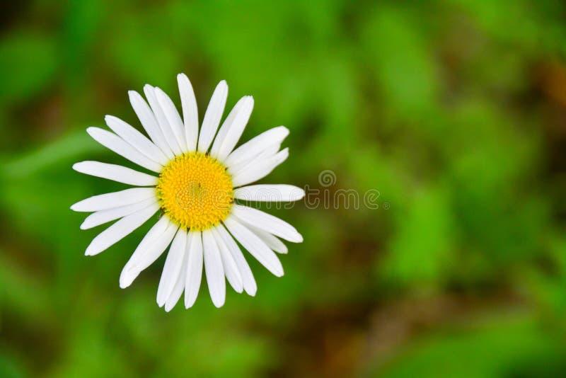 Fleur de camomille sur le fond vert brouill? Copiez l'espace photographie stock libre de droits
