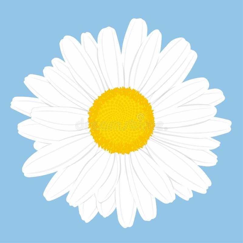 Fleur de camomille Vue sup?rieure D'isolement sur le fond bleu Illustration de vecteur illustration de vecteur