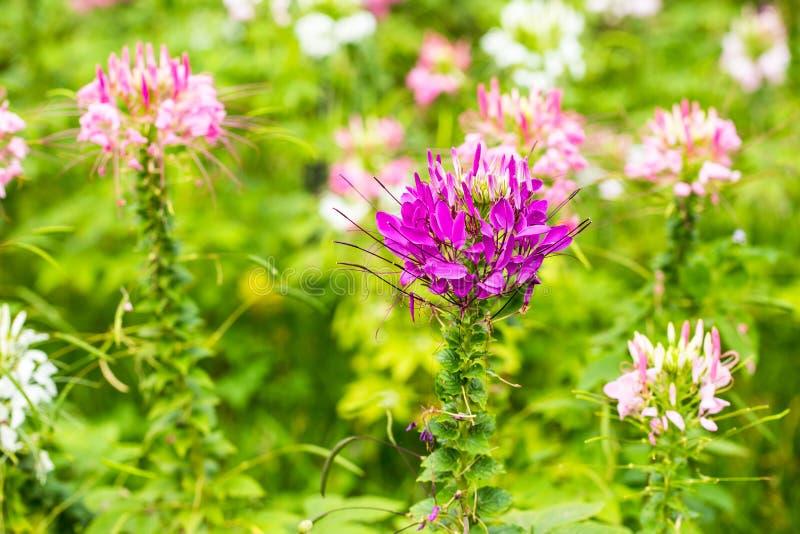 Fleur de Capparaceae photographie stock libre de droits