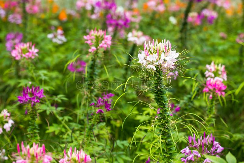 Fleur de Capparaceae photo stock