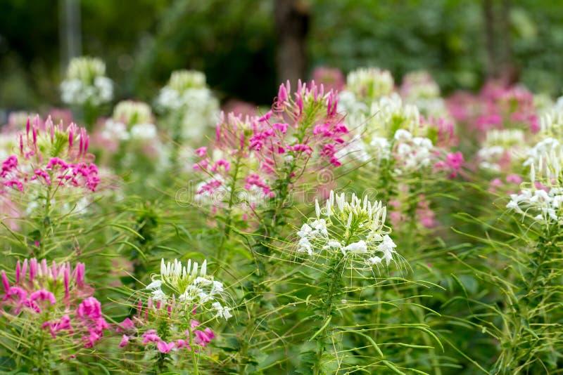 Fleur de Capparaceae images libres de droits