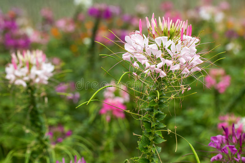 Fleur de Capparaceae photos stock