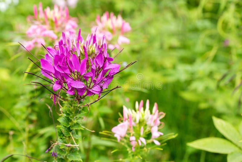 Fleur de Capparaceae image libre de droits
