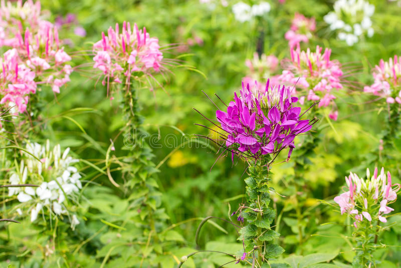 Fleur de Capparaceae photographie stock