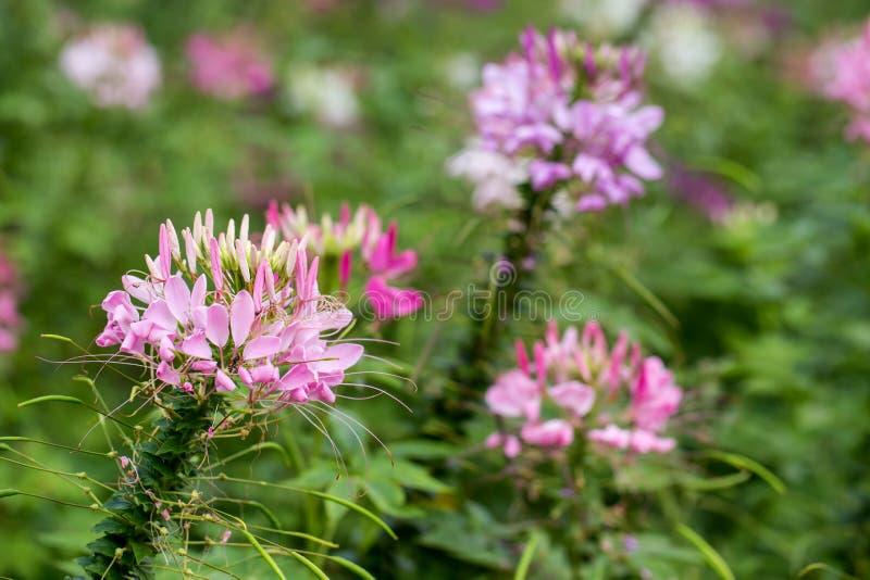 Fleur de Capparaceae photos libres de droits